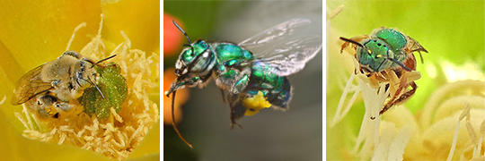 Image of three types of bees that are not honey bees - carpenter, orchid, and sweat bee.