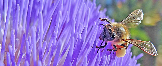 Honey bee collecting pollen from an artichoke flower.