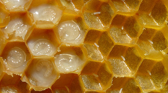 Looking inside a honey bee comb. The larve are seen in liquid royal jelly and the smaller eggs are on the right side.