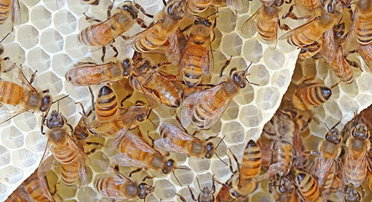 Honey bee workers building cells in natural hive