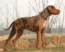 Catahoula leopard dog