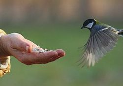 A small bird is approaching a hand. The bird is in mid flight and looks like it may land on the person's hand, or simply fly in place to feed on the food in the person's hand.