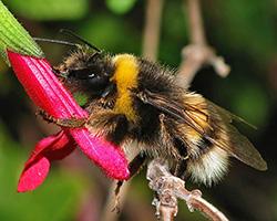 Bombus terrestris drinking nectar