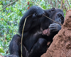 chimpanzee fishing for termites