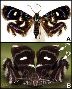 Colored metalmark moth in both regular and spider-mimicking positions