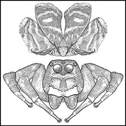 Drawing of moth in mimic position next to spider