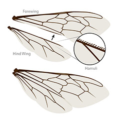 Bee wing anatomy