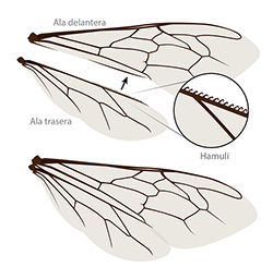 Bee wing anatomy spanish