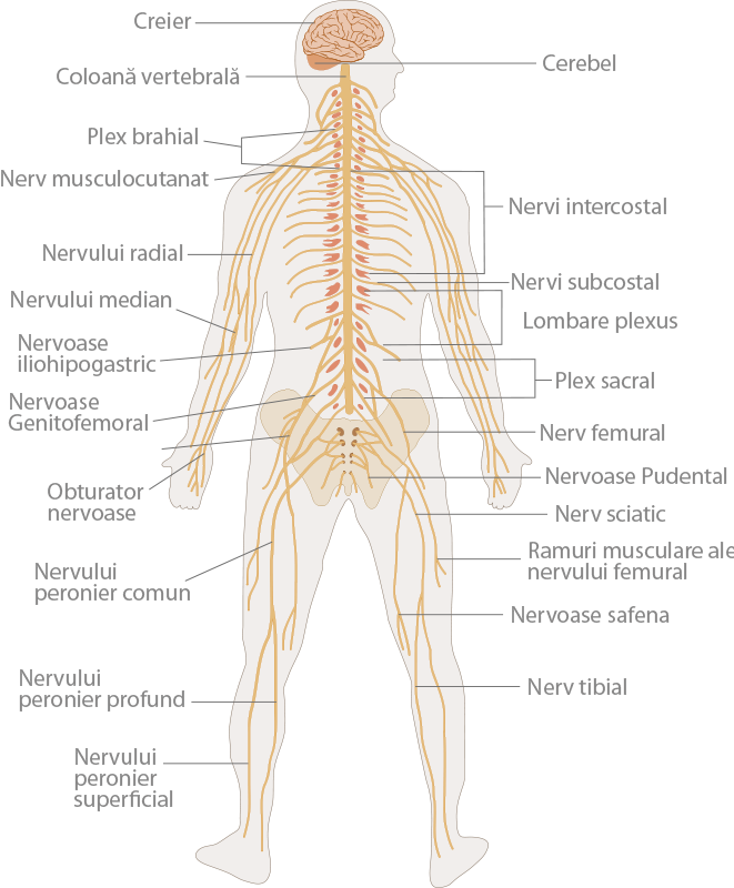 Un Viaje Nervioso | Ask A Biologist