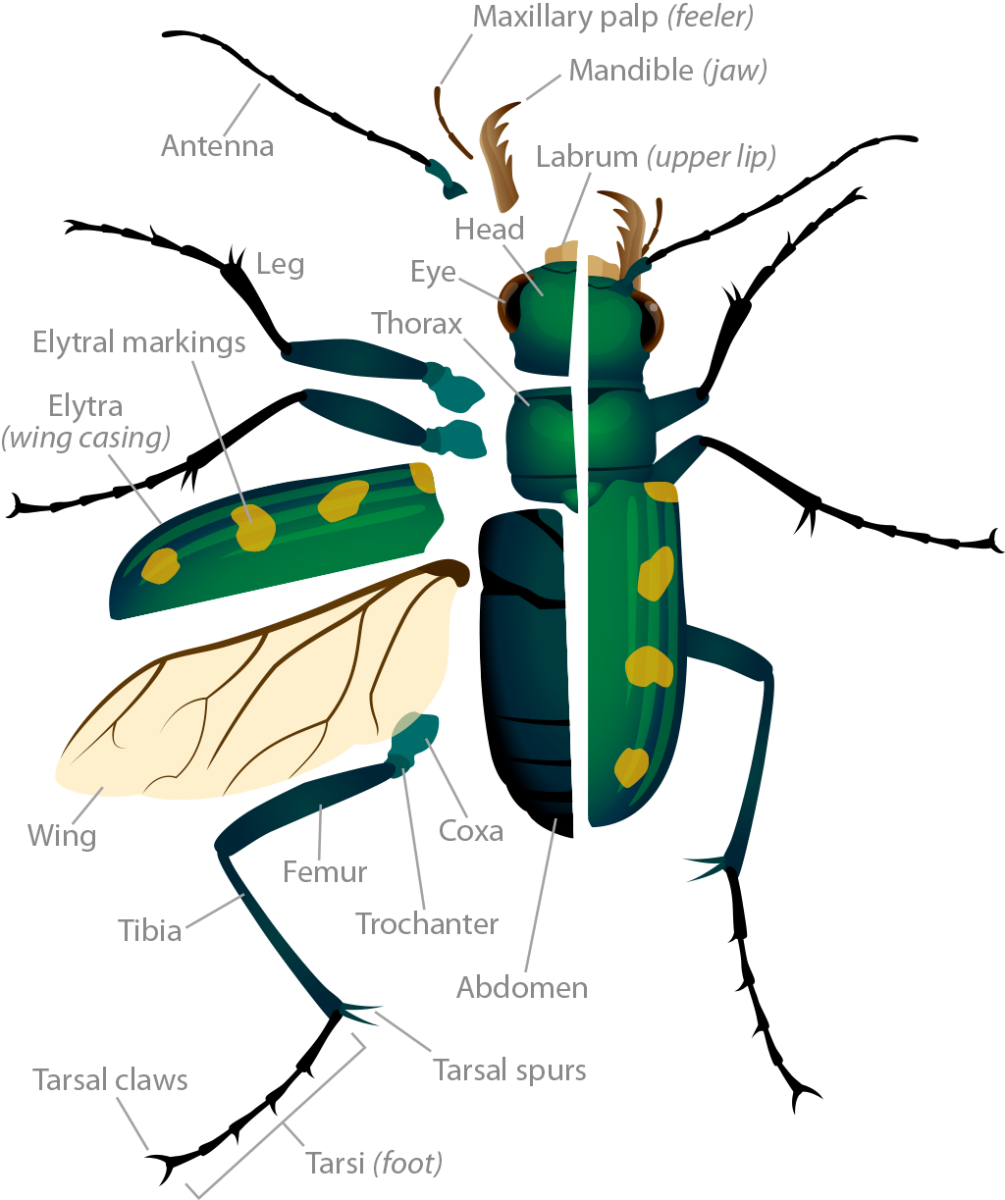 Tiger Beetle Anatomy Ask A Biologist Chicken Wing Diagram Dissection The Body Pop Up Image