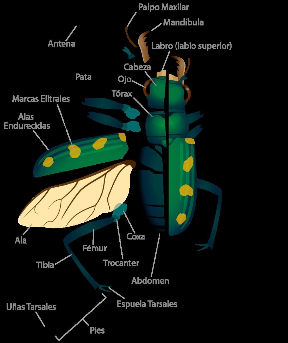 Encantador Anatomía De Un Escarabajo Modelo - Imágenes de Anatomía ...