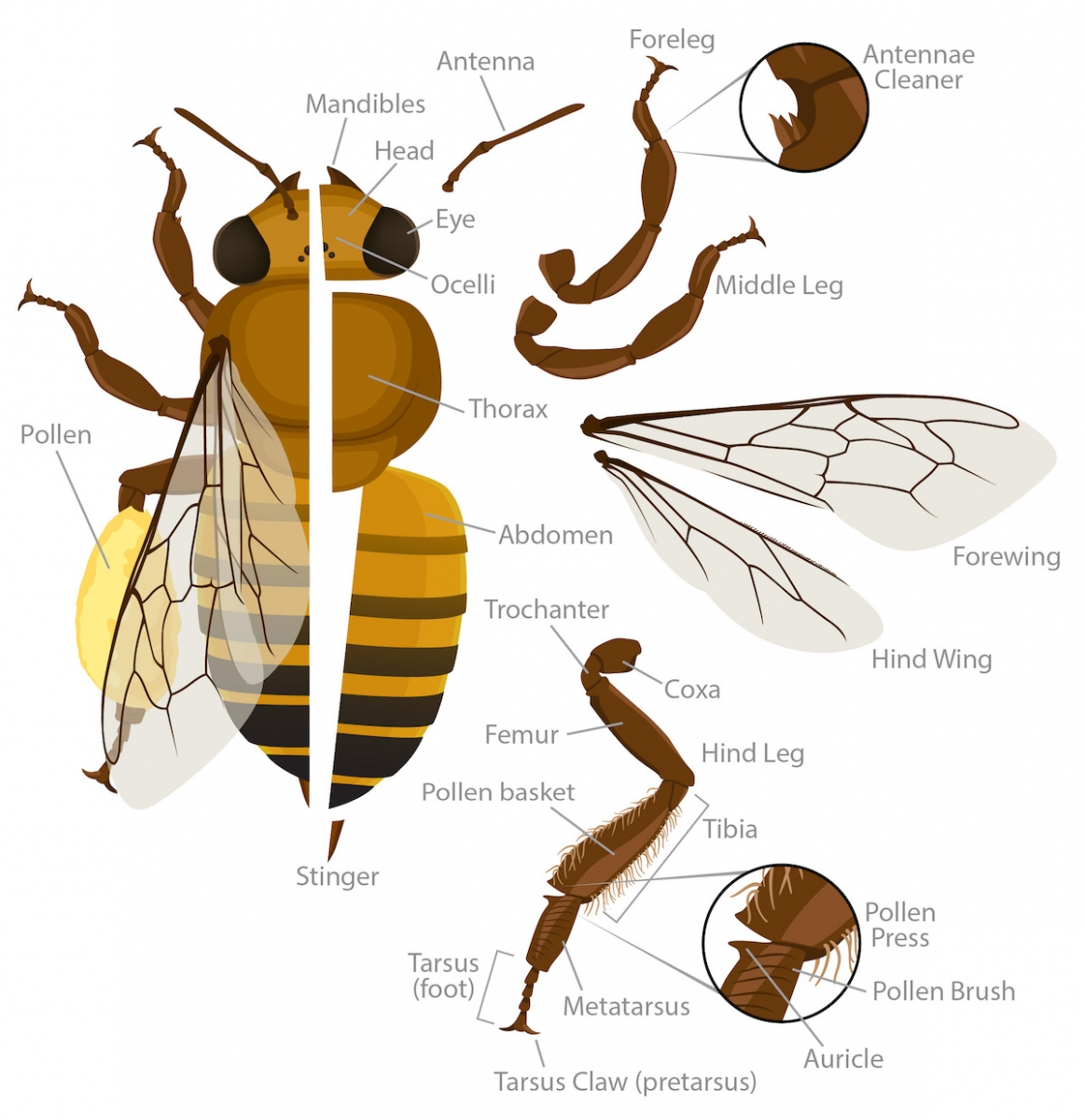 Honey Bee Labeled Diagram Starting Know About Wiring Mueller Furnace Older Anatomy Ask A Biologist