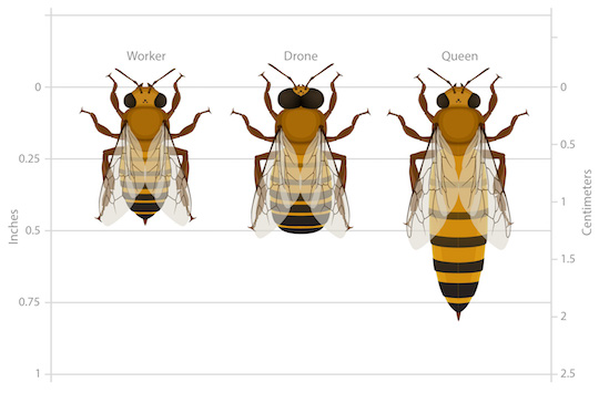 The types of honey bees in a hive (called castes): workers, drones, and queens.
