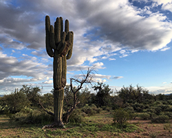 A saguaros in the Sonoran Desert near the Arizona-Mexico border