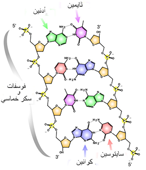 Illustration showing molecular structure of base pairs in Arabic