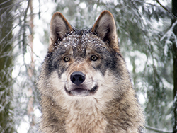 Grey wolf dusted with snow.