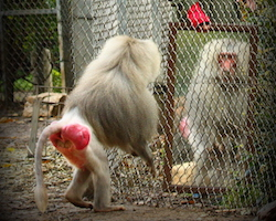 A baboon doing a mirror test