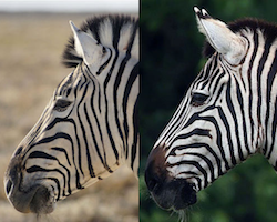Two subspecies of mountain zebra