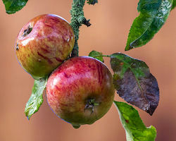 Wet apples on a tree, surrounded by leaves
