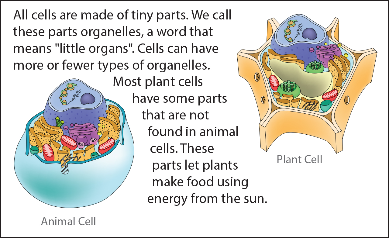 Biology Reading Flashcards - Cell Parts | ASU - Ask A Biologist