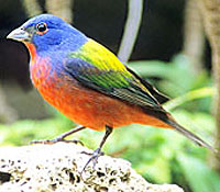 Painted Bunting, Image by Jim Burns