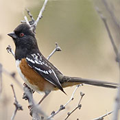 Spotted Towhee thumbnail