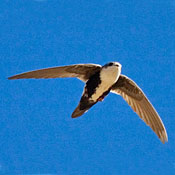 White-throated Swift thumbnail