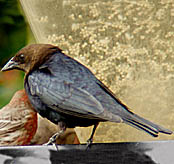 Brown-headed Cowbird thumbnail