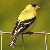 American Goldfinch thumbnail