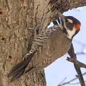 Arizona Woodpecker thumbnail