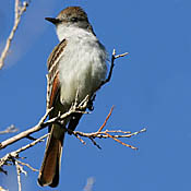 Ash-throated Flycatcher thumbnail