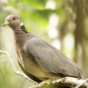Band-tailed Pigeon thumbnail