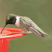 Black-chinned Hummingbird thumbnail