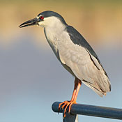 Black-crowned Night-Heron thumbnail