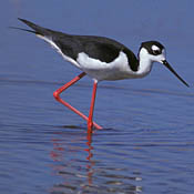 Black-necked Stilt thumbnail