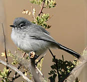 Black-tailed Gnatcatcher thumbnail