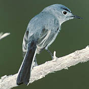 Blue-gray Gnatcatcher thumbnail