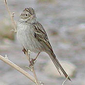 Brewer's Sparrow thumbnail