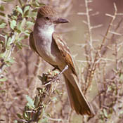 Brown-crested Flycatcher thumbnail