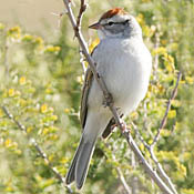 Chipping Sparrow thumbnail