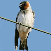 Cliff Swallow thumbnail