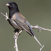 Dark-eyed Junco thumbnail
