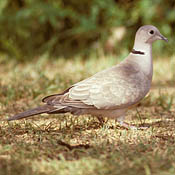 Eurasian Collared-Dove thumbnail