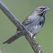 Five-striped Sparrow thumbnail