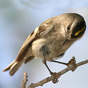 Golden-crowned Kinglet thumbnail