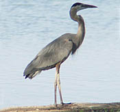 Great Blue Heron thumbnail