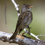 Greater Pewee thumbnail