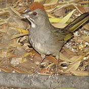 Green-tailed Towhee thumbnail