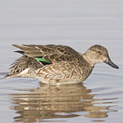 Green-winged Teal thumbnail