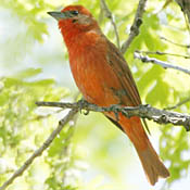 Hepatic Tanager thumbnail